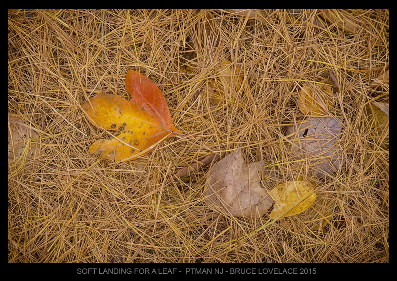 Pine needles-Fall Leaves-Nature photo by Bruce Lovelace 2015