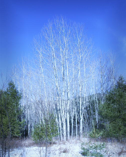 Winter scene - Birch Trees - Bartlett NH